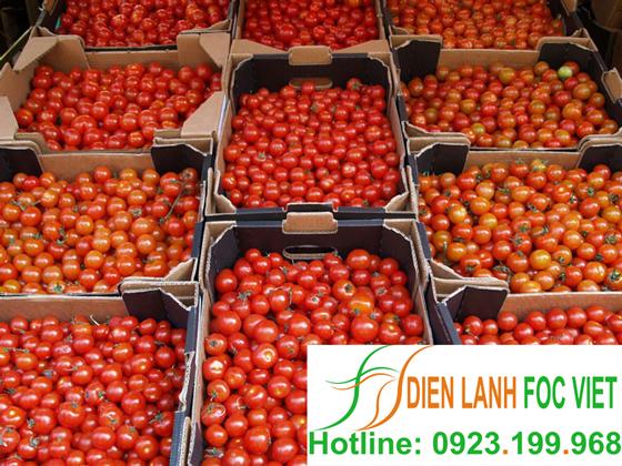 lắp đặt kho lạnh bảo quản cà chua